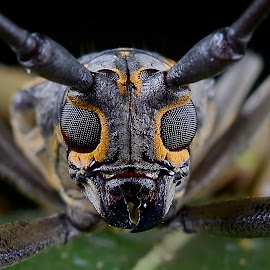-longhorn beetle- by Zahari Deraman - Animals Insects & Spiders