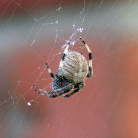 A not-so itsy-bitsy spider. by Jim McFarland - Nature Up Close Webs