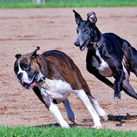 by Don Martin - Animals - Dogs Running ( greyhound )