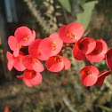 Crown-of-thorns or Christ Plant