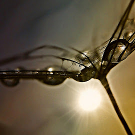 Behind The Sun by Marija Jilek - Nature Up Close Other plants ( behind sun, water, a seed, detail, nature, goat-beard, drops, plants, natural waterdrops )