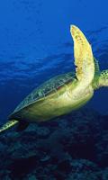 Screenshot of Turtle Wallpapers