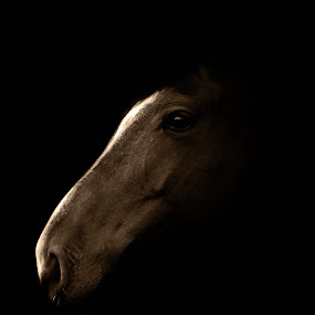 Horse Portrait by Dragos Birtoiu - Animals Horses ( animals, shadow, horse, horse photography, photography )