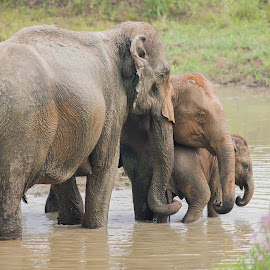 The Elephant Family by Gaurav Bathla - Novices Only Wildlife ( love, elephants, family, elephant, kids )