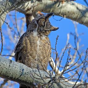 Sleeping owl  by Cody Hoagland - Animals Birds
