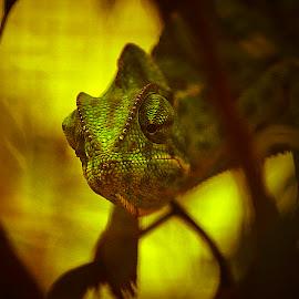 Chameleon by Santhosh Anantharaghavan - Novices Only Wildlife ( canon, wild, life, green, chameleon )