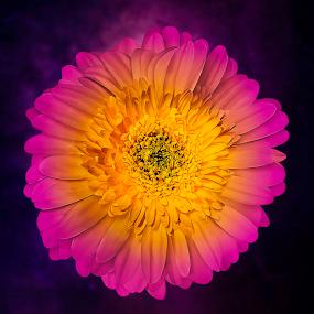 Multicolored Flower by Joseph Vittek - Flowers Single Flower ( contrast, magenta, petals, yellow, flower )