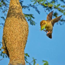 Busy Baya Weaver by Mukesh Chand Garg - Animals Birds