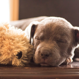 Comfortable  by Amanda Johnson - Animals - Dogs Puppies ( pitbull, slepping, puppy, adorable, cute )