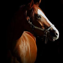 horse  by Alessandra Cassola - Animals Horses ( #horses, #horse, #quarter horse )