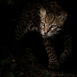 Out of the Shadows by Selena Chambers - Animals Other Mammals ( out of the shadows, ocelot, small cat )