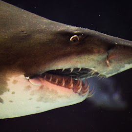 The Bad One by Arkoprovo Byne - Animals Fish ( water, underwater, fish, sea, shark )