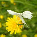 White Plume Moth (aka Angel)