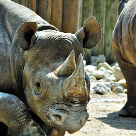 Mother and boy by Alfonso de las Cuevas - Animals Other Mammals ( rinocerous, rino, horn, rhino, rinoceronte )