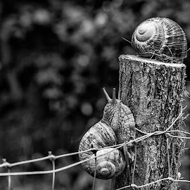 The great escape ... by Valics Lehel - Animals Other ( fence, black and white, snail, garden, escape )