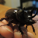 Ox Beetle, male