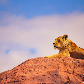 Lion around by Jony Ellis - Animals Lions, Tigers & Big Cats ( lion, kingdom, pride rock, king )