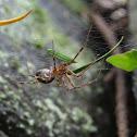 Pimoid spider