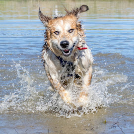 by Kevin Reddig - Animals - Dogs Running (  )