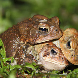 Toad Love by Michael Buffington - Animals Amphibians ( brown, toads, slug, wet, amphibians, rain )