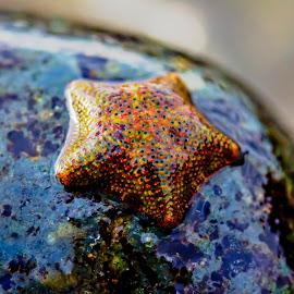 Starfish by Mel Stratton - Animals Sea Creatures ( macro, invertebrate, macro photography, starfish, star )