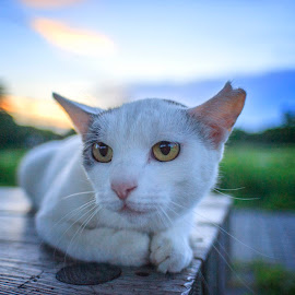 in sunset by Kadek Lana - Animals - Cats Portraits ( nature, sunset, tokyo, wildlife, animal )