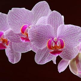 Pinky by Ray Alexander - Flowers Flower Arangements ( orchid, pink, beauty, flower, blossoms, arangements,  )