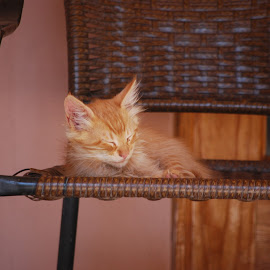 Kitten Napping in Chair by Lisa Rath - Animals - Cats Kittens ( chair, orange, kitten, sleeping, tabby )