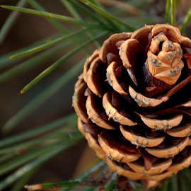 a pine cone by Ioana Draghiciu - Nature Up Close Other plants ( conifer, pine cone, pine tree, pine needles, pine )