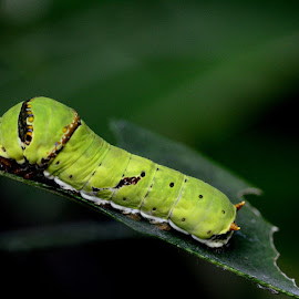 On Becoming by Joey Ramos - Novices Only Macro ( butterfly, caterpillar )