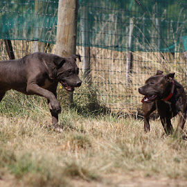 by Steph Scurr - Animals - Dogs Playing
