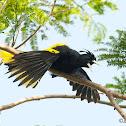 Yellow  Winged Cacique - Cacique Mexicano