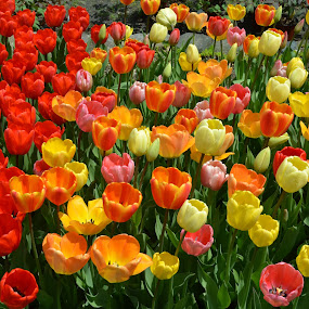 Garden of tulips by Patricia Tracy - Flowers Flower Gardens ( tulips, spring, flower )