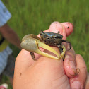 Marsh Fidler Crab