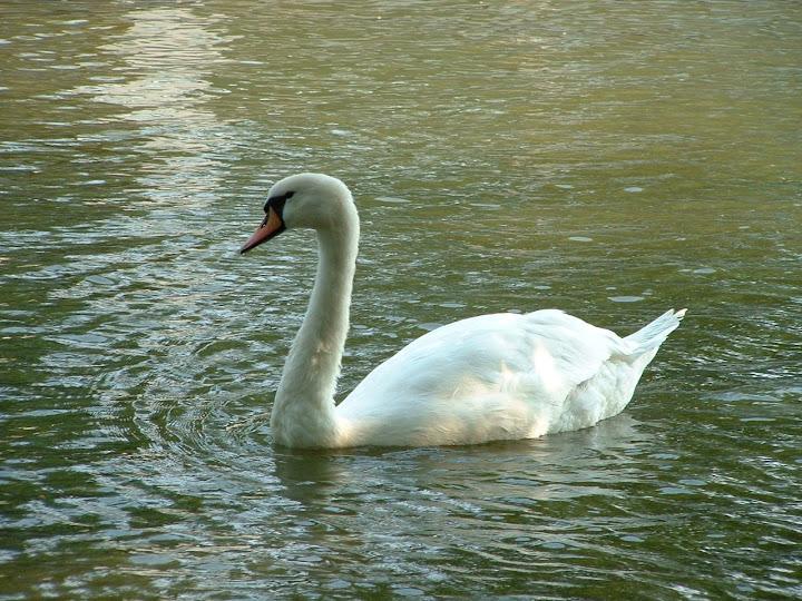 Fotos Gratis Animales - Cisne