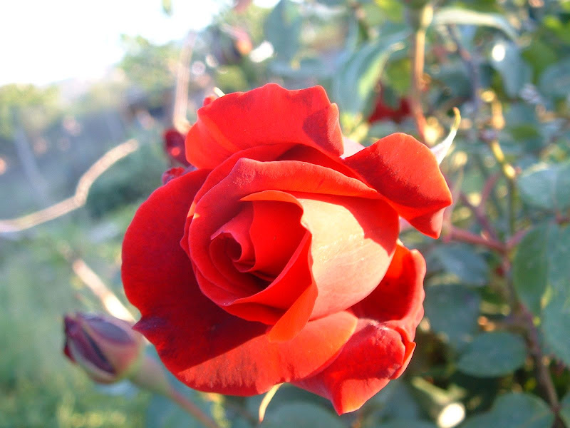 Fotos Gratis  Naturaleza - Flores - Rosa Roja
