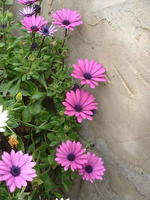 Fotos Gratis  Naturaleza - Flores - Margaritas violetas en la pared