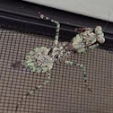 Florida Bark Mantis