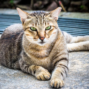 Relaxing  by Samaneethi Krishnan - Animals - Cats Portraits ( cat, 70-200f/4, canon60d, streetcat, singapore,  )