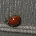 Harlequin ladybird, Asian lady beetle or Japanese ladybug Harmonia axyridis