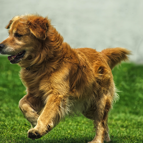 Golden Playing by Cristobal Garciaferro Rubio - Animals - Dogs Playing ( player, runner, dog, golden, golden retriever )