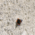 Red admiral/Admiral