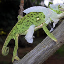 Common Flap-Neck Chameleon