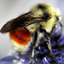 Tricoloured Bumblebee
