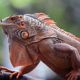 Iguana by Ray Alexander - Animals Reptiles ( ancient, red, male, adult, reptile )