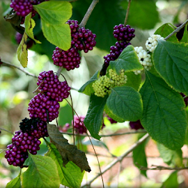 Purple and White by Elfie Back - Nature Up Close Other plants ( bird food, fall, beautyberry, berries,  )
