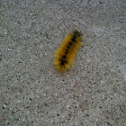 Hairy catepillar