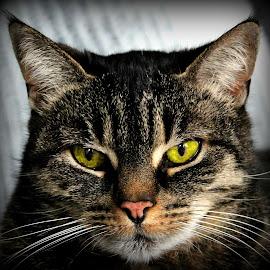 Ruby Tuesday by Elyzabeth Krajewski - Animals - Cats Portraits ( cats pets animals cat portraits nature,  )