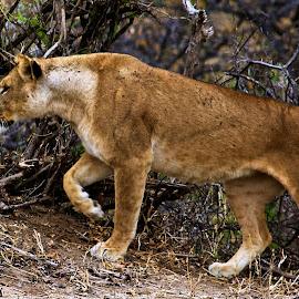 Serengeti lioness on the prowl by John Kelly - Animals Lions, Tigers & Big Cats ( serengeti safari )