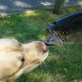 Can I eat it ? by Donna Sepe - Animals Fish ( labrador retriever, amimal, fish, dog, yellow lab,  )